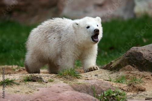 Eisbärbaby Flocke brüllt
