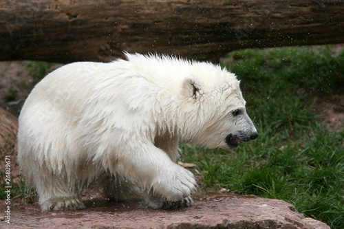 Fototapeten Eisbar Eisbärbaby Flocke