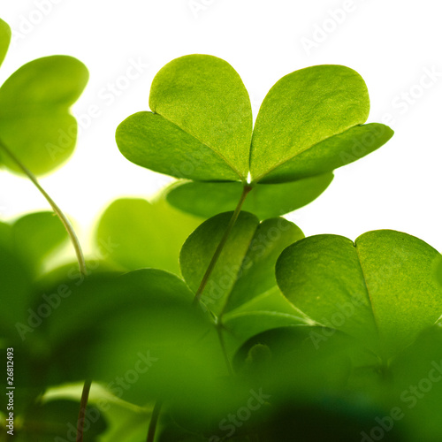 Clover plant macro shot, isolated on white background.