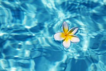 Tropical frangipani flowerin water