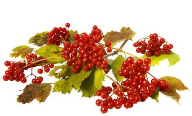 Beautiful composition of arrowwood leaves and berries