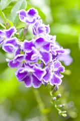 デュランタの花