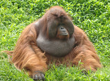 huge male orangutan monkey, borneo, south east asia orange monke poster