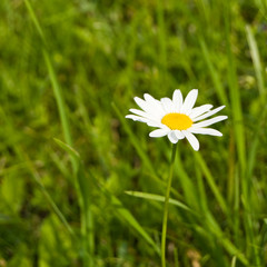 Blossoming camomile on a meadow