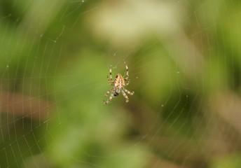 Eine Kreuzspinne im Zentrum ihres Netzes