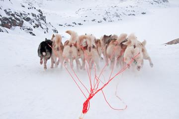Greenlandic Sled Dogs running