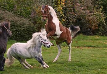 Kämpfende Pferde