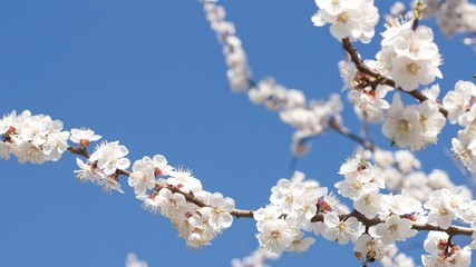 Blooming apricot