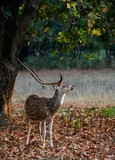 Male  Spotted Deer (Axis axis). poster