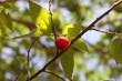 East Indian plum