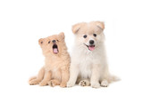 Pomeranian puppies sitting obediently on a white background poster