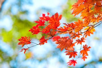 клены в осени