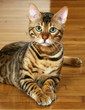 beautiful bengal with green eyes