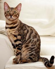 magnifique chat bengal assis sur le canapé blanc