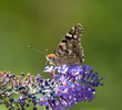 Painted Lady on Buddleia Flower