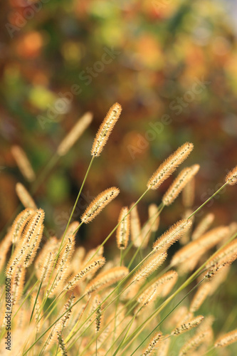 blooming grass in autumn