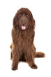 Brown Newfoundland dog isolated on white