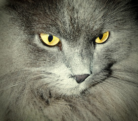 beautiful gray cat with yellow eyes