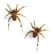 Orb Weaver Spiders - 26892849