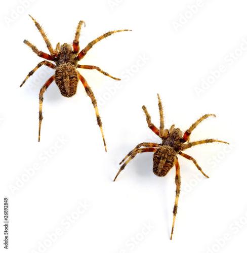 Orb Weaver Spiders - 26892849