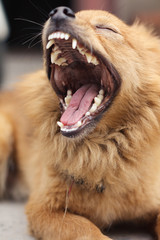 A golden long-haired dog yawning