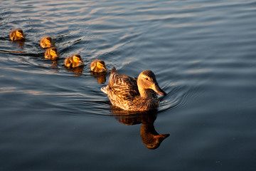 Mother mallard and her family of ducklings