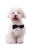 Bichon Frise looks handsome poster