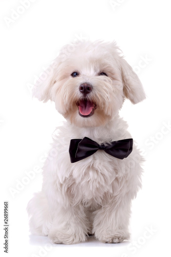 Bichon Frise looks handsome