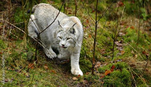 Foto op Plexiglas Lynx Luchs 3