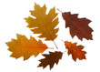 Set of autumn leaves of red oak tree