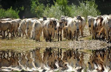 troupeau de chevaux camargues et reflet