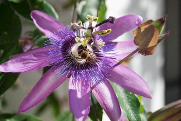 Flor pasionaria purpura abierta con abeja