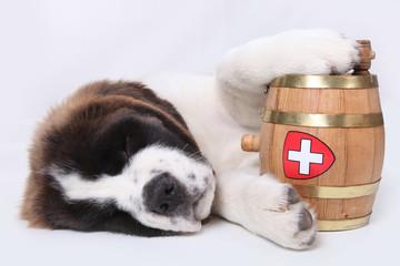 A Saint Bernard puppy with rescue barrel around the neck