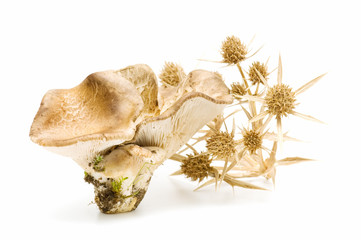 oyster mushrooms on white background