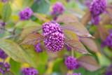 Fototapete Schönfrucht - Liebesperlenstrauch - Pflanze