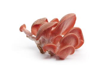 Cluster of pink oyster mushroom