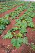 piantagione di zucchine
