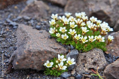 Plexiglas Antarctica 2 Arctic flowers