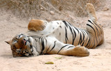 male adult bengal tiger sleeping on ground, thailand, asia cat l poster
