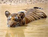 juvenile male bengal tiger swimming in lake, thailand, asia cat poster