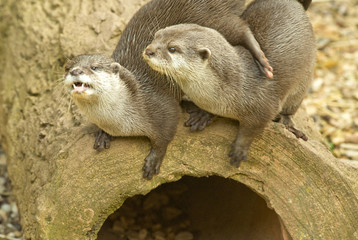 Two Otters playing