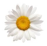 Fototapete Kamille - Closeup - Blume
