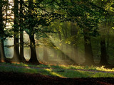 Fototapety beech forest with fog and warm sunshine in autumn, fall