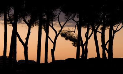 Pini al tramonto