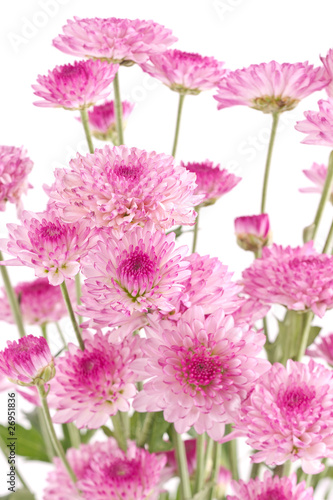 Pink chrysanthemums closeup