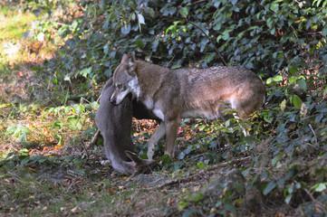 Wolf mit Reh