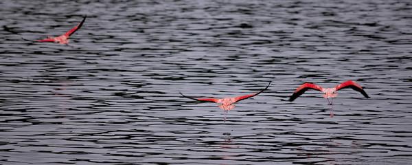 Flamingo right before takeoff at lake Gotomeer, Bonaire