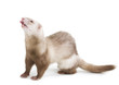 Ferret color champagne with tab on a white background