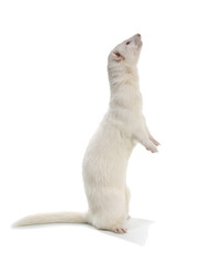 Albino ferret stands on his hind legs