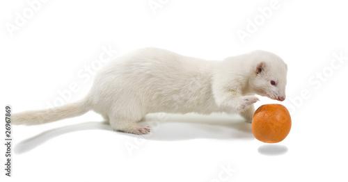 White ferrets (albino) plays with an orange